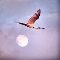 """Flight of the Spoonbill"""
